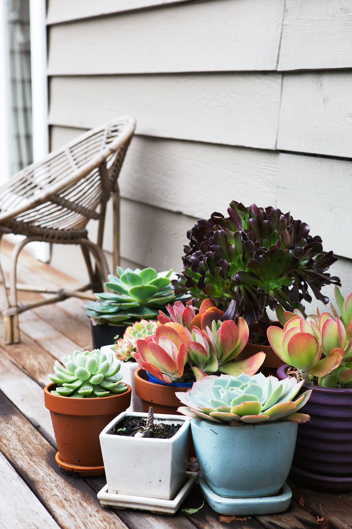 A cluster of colourful succulents makes an eye-catching display. *Photo:* Chris Court