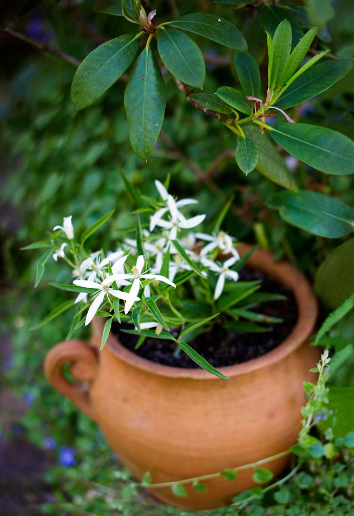 A white flowering clematis bursts with life.