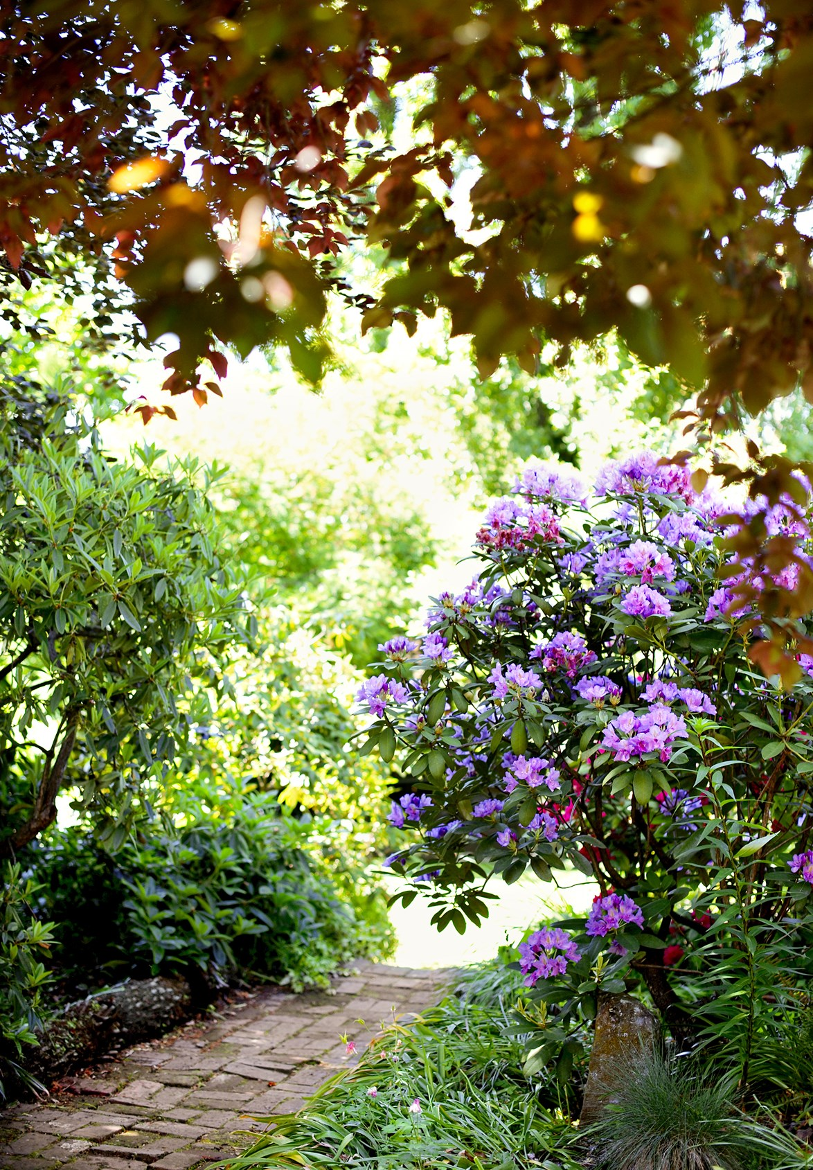 "A flowering rhododendron adds a touch of majestic purple to this garden pathway at a home in [Launceston, Tasmania](https://www.homestolove.com.au/an-incredible-garden-that-changes-with-the-seasons-3971|target=""_blank""). *Photo: Nick Watt*"
