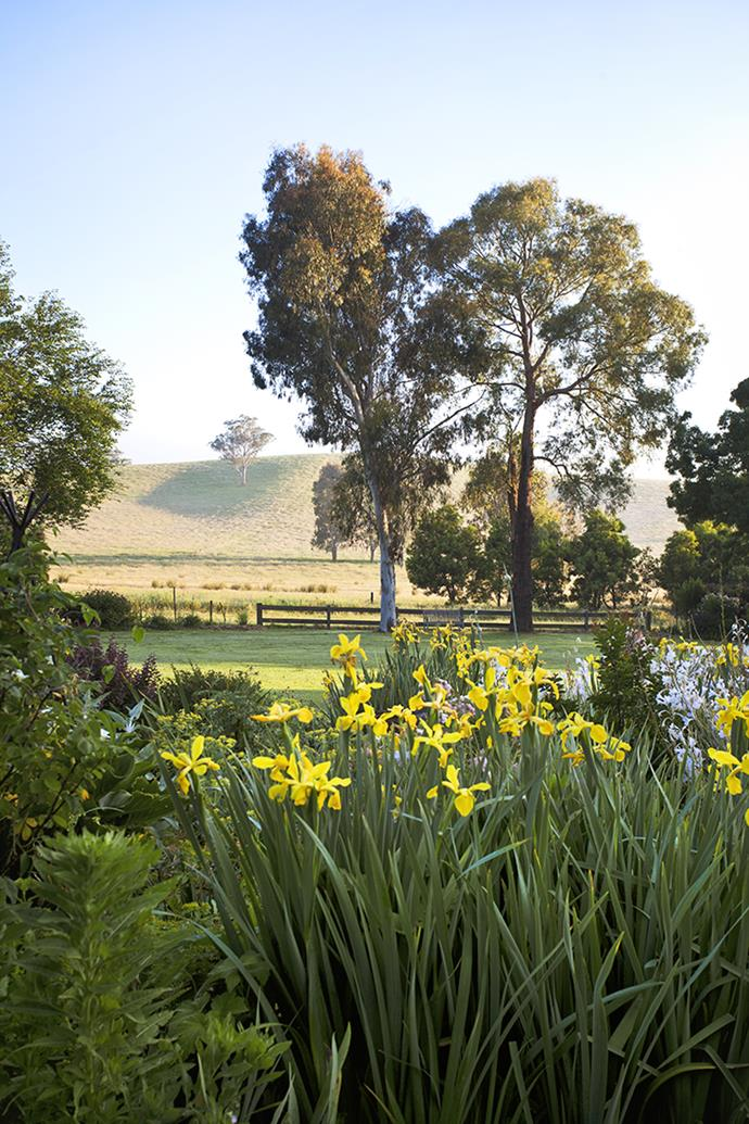 Looking north from the homestead, the view extends across the wide lawn to the post and rail fence. In the midground, standing sentinel on the lawn is a Sydney peppermint (*Eucalyptus piperita*), left, and a black peppermint (*Eucalyptus nicholii*). In the foreground are a mass of yellow iris and white watsonias.