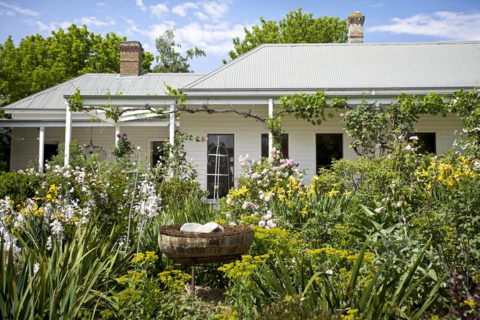 Grapevines 'Pinkie' and 'Raubritter' roses adorn the verandah of the weatherboard home. The garden beds in front include a mass of iris, daylilies, yellow *Phlomis* and watsonias.
