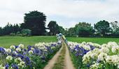 Why you should rethink agapanthus