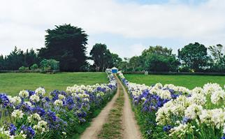 Pathway lined with agapanthus