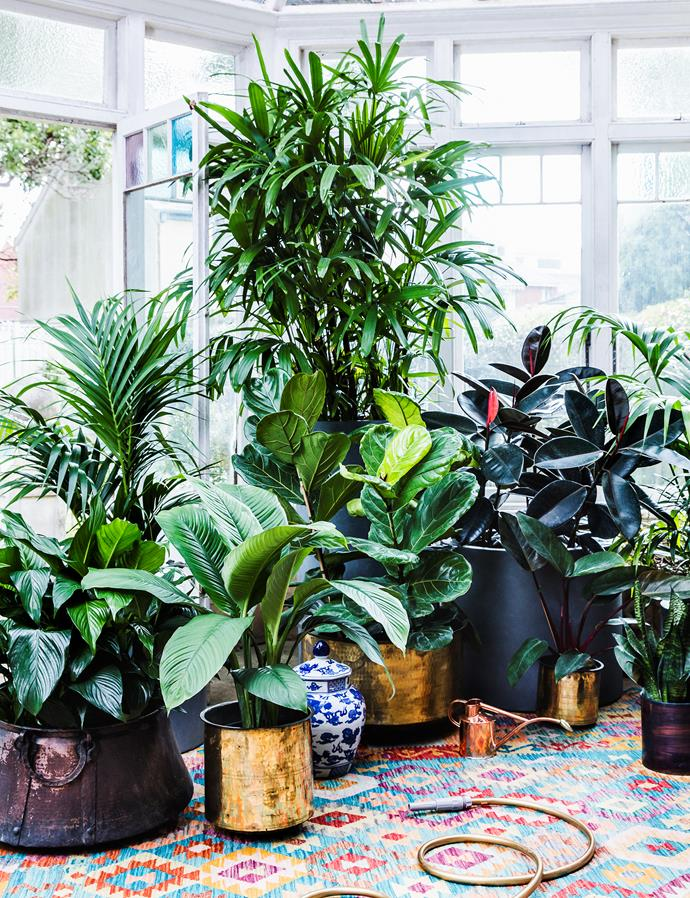 Owner and landscape designer Richard Unsworth says the best large plants for indoors belong to the fig family – for example, rubber tree, sabretooth fig and fiddle-leaf fig. The fruit salad plant (Monstera deliciosa) and umbrella tree also do well indoors.