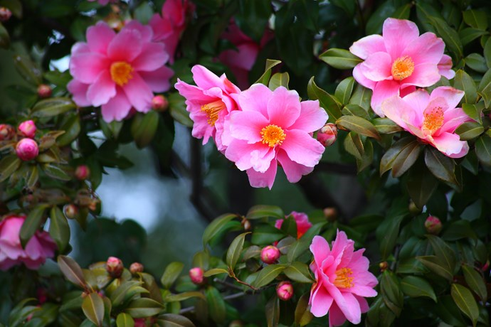Sasanqua camellia *(Camellia sasanqua). Photo: Getty Images*