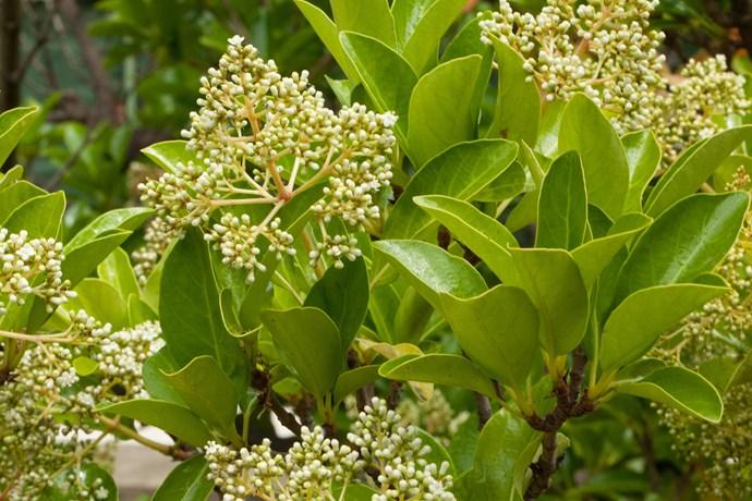 Sweet viburnum *(Viburnum odoratissimum). Photo: Alamy*