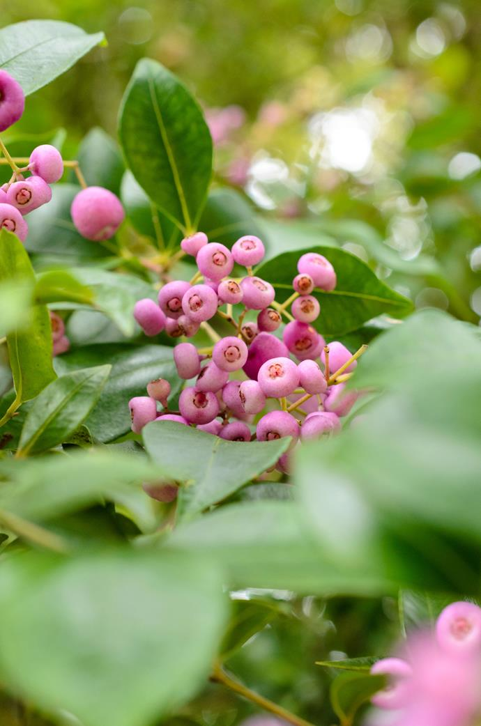 Cascade lilly pilly *(Syzygium 'Cascade'). Photo: Alamy*