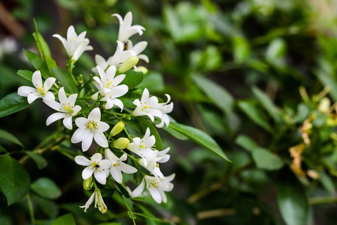 Murraya *(Murraya paniculata). Photo: Alamy*