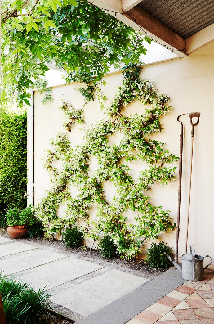 Chinese star jasmine (Trachelospermum jasminoides) is trained against a wall in an eye-catching diamond pattern.