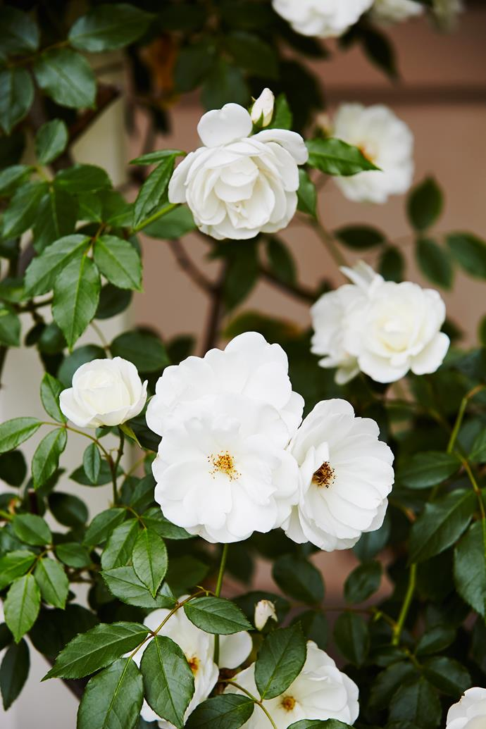Many of the cuttings were gifts from family and friends, making the garden even more special to the couple. Not all of the plantings proved a success however, with periods of drought wreaking havoc on some varieties, including gardenias and some of the azaleas.