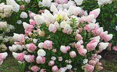 5 new hydrangea varieties