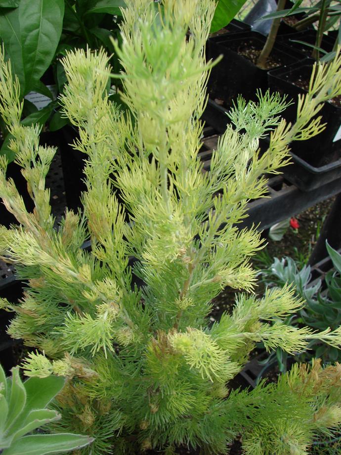 Adenanthos sericeus ('Woolly Bush')