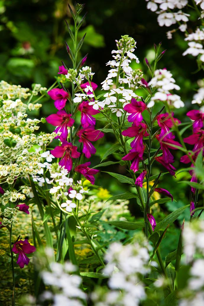 Rich bursts of colour come from flowers like these Magenta gladioli and white dame's rocket (Hesperis matronalis).