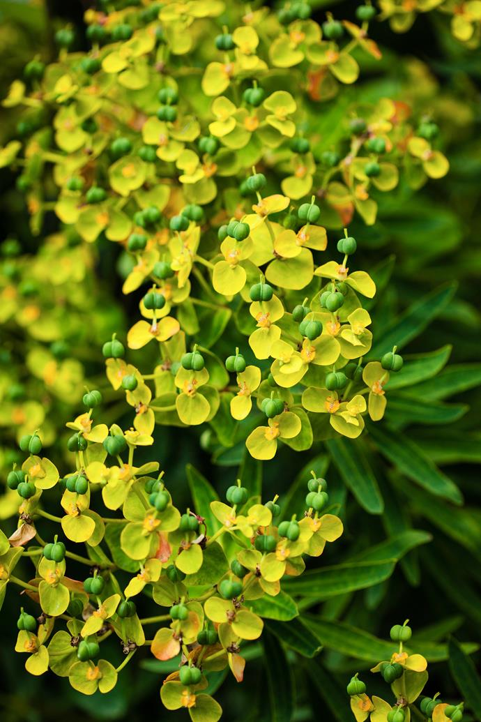 """In spring I really look forward to the early bulbs and the bright yellow flowers of forsythia. The pretty white bells of Solomon's seal looks charming mixed with hostas and euphorbias (pictured) under the shrubby amelanchiers,"" she says."