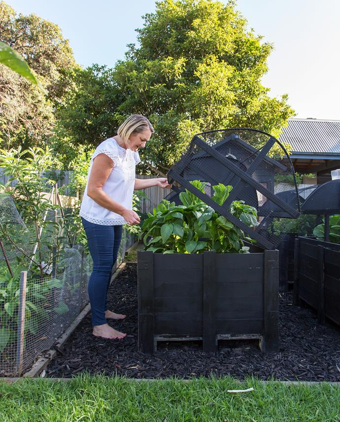Edwina tends her capsicum plants. Keeping them in boxes means almost no weeds.