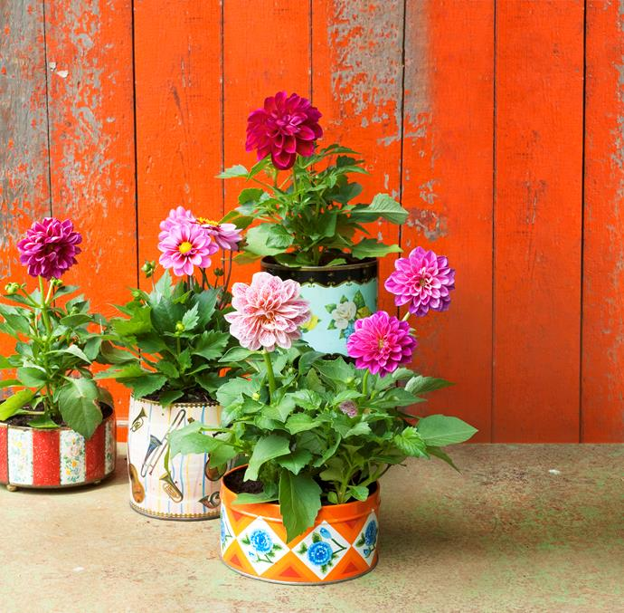 After care: Check the potting mix every few days in hot weather. Keep it moist but not too wet.