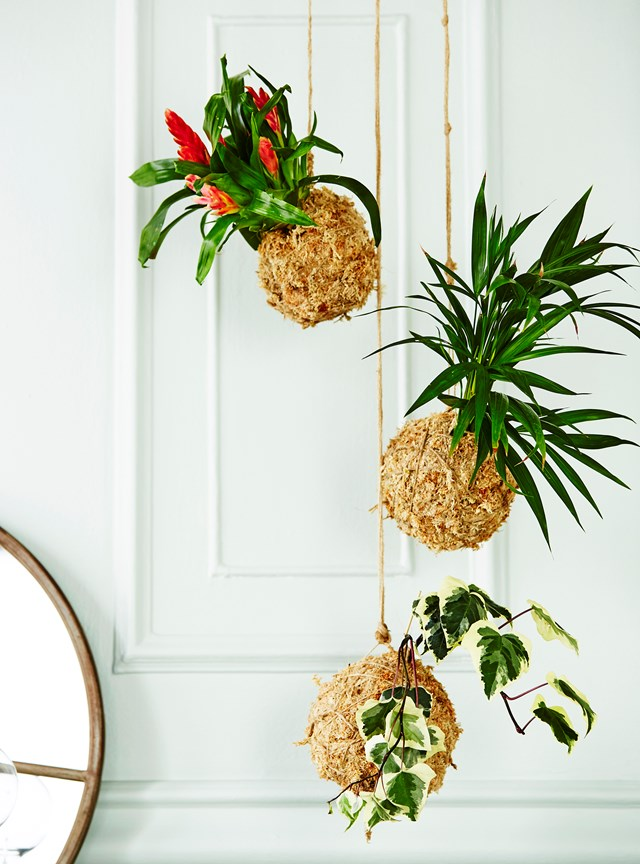 To find Kokedama hanging plants, or Japanese moss balls, ask at your local florist – most will make them for custom orders.