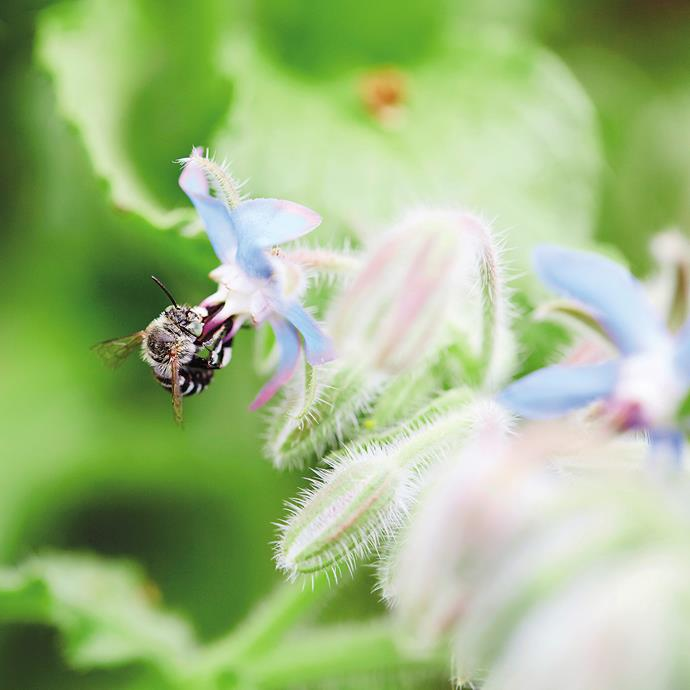 """**Blue-banded bee:** """"Its deep-blue stripes make this one of the easiest Australian bees to identify,"""" says Purdie. """"They're solitary bees and one of the most common natives."""" *Photography from *The Bee Friendly Garden*.*"""
