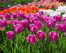5 best spring flowering bulbs