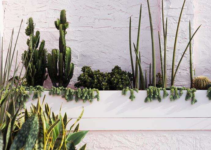 With its mix of succulent and cactus plantings, the rear of the garden is strikingly different to the front garden. The sculptural forms of the plants sing against the soft pink wall behind.