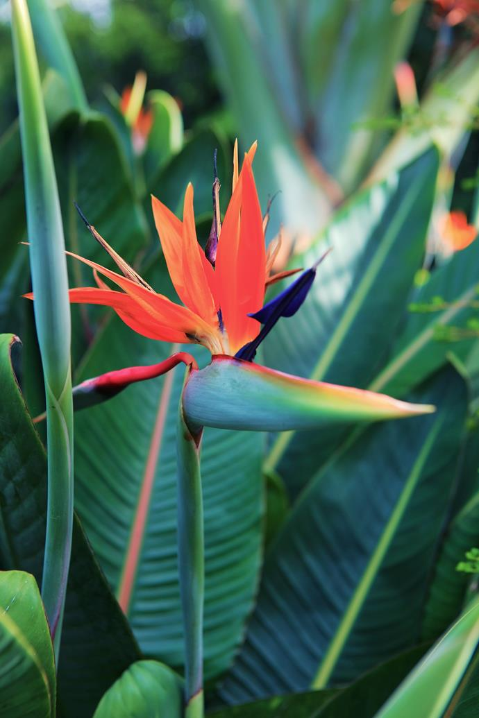 A Bird of paradise (Strelitzia) provides another stunning splash of colour.