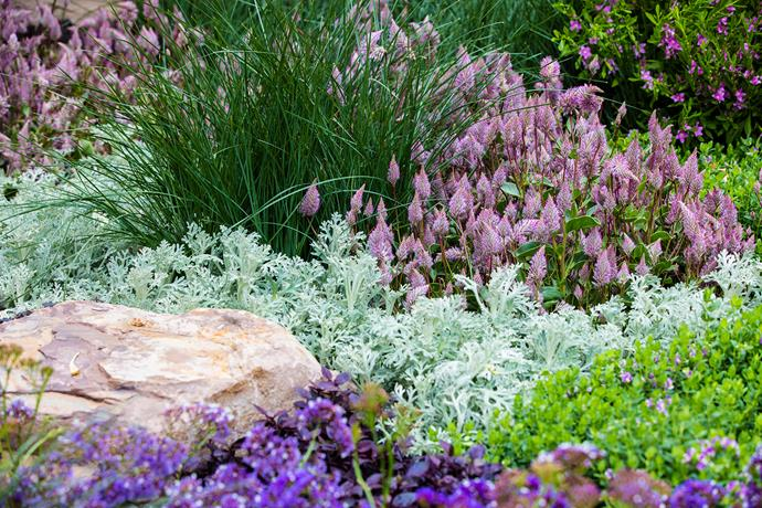 Mauve spires of *Ptilotus exaltatus* 'Joey' and silvery flannel flowers (*Actinotis helianthi* 'Starbright') make perfect companions.