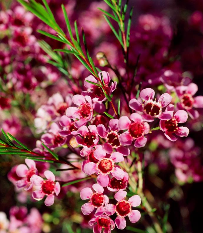Australian winters are never drab, with Golden wattles, native fuchsias (*Correa*) and Banksias followed by starry *Crowea*, boronia and Geraldton wax. By August, flowering peach trees and perfumed jasmine command admiration.