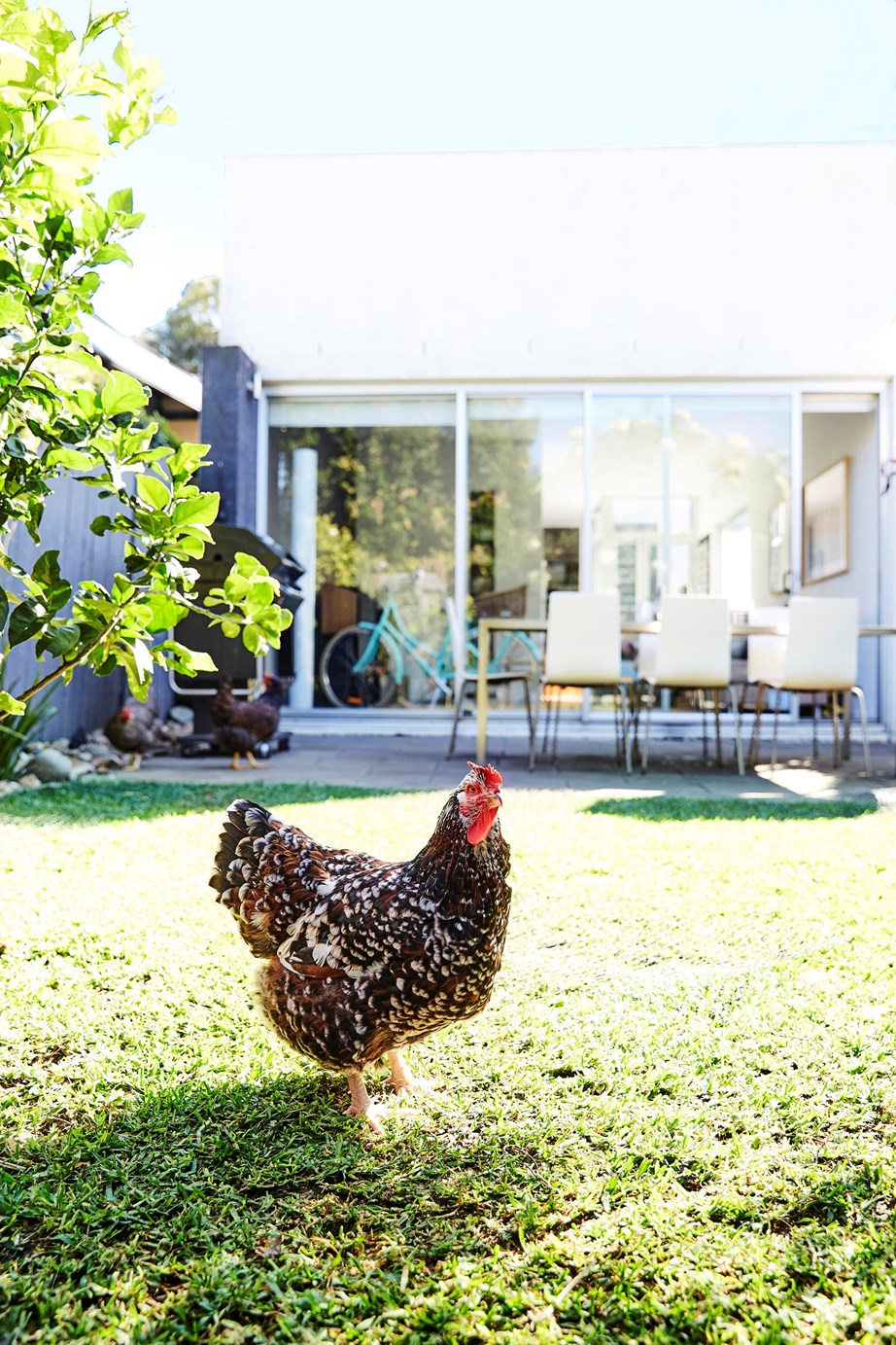 As well as providing you with fresh eggs everyday, chickens also improve the health of your soil.