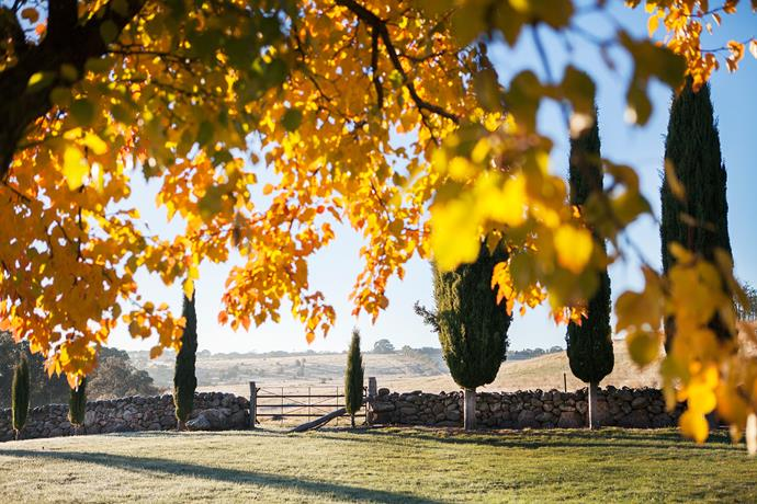 The golden leaves of ornamental pear trees (*Pyrus calleryana* 'Chanticleer') frame the view from the driveway to the wider landscape. Italian cypress trees (*Cupressus sempervirens*) are dotted along the stone boundary fence.