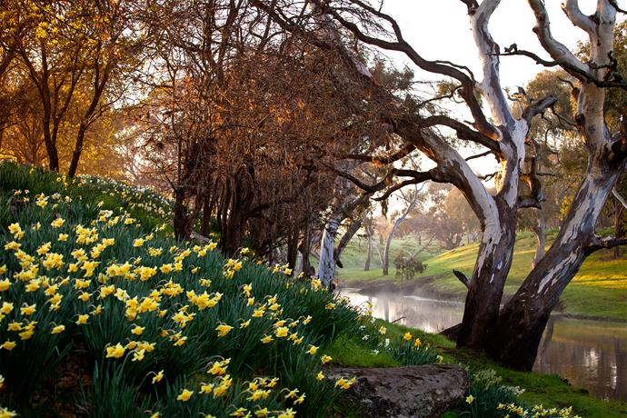 In spring, massed daffodils burst into bloom beneath the early-flowering prunus in the wild garden alongside Mt Emu Creek.