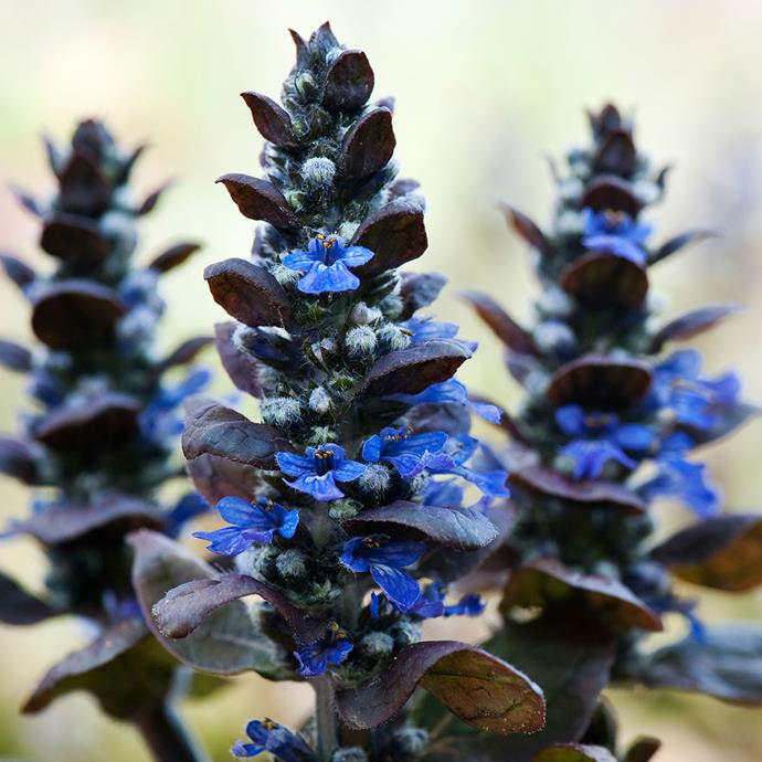 (*Ajuga reptans*). *Photo by Alamy.*