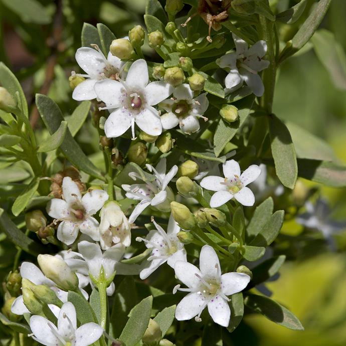 (*Myoporum parvifolium*). *Photo by Alamy.*