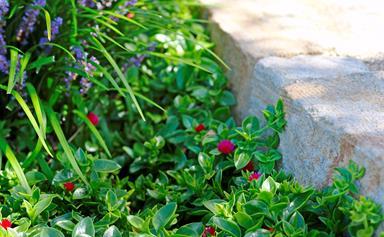 5 flowering groundcovers for Australia