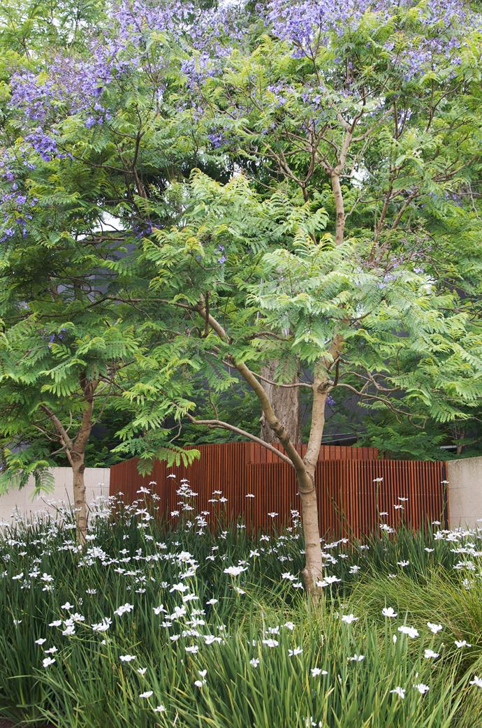 """We wanted the interior garden to spill out onto the street,"" says Myles Broad from Eckersley Garden Architecture of this verge garden featuring jacarandas underplanted with massed *Dietes iridioides* and *Lomandra longifolia* 'Tanika'. ""It visually softens the ultra-contemporary house."" [e-ga.com.au](http://e-ga.com.au/