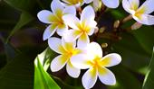 How to grow a frangipani tree