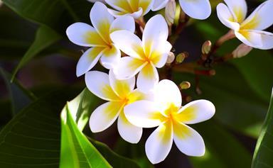 How to grow a frangipani tree
