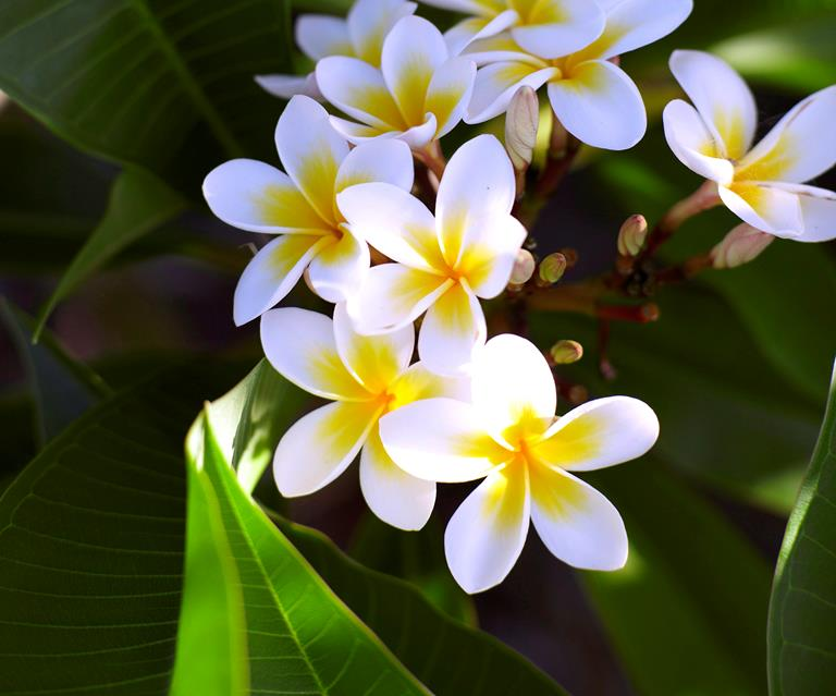 Image result for Frangipani  tree