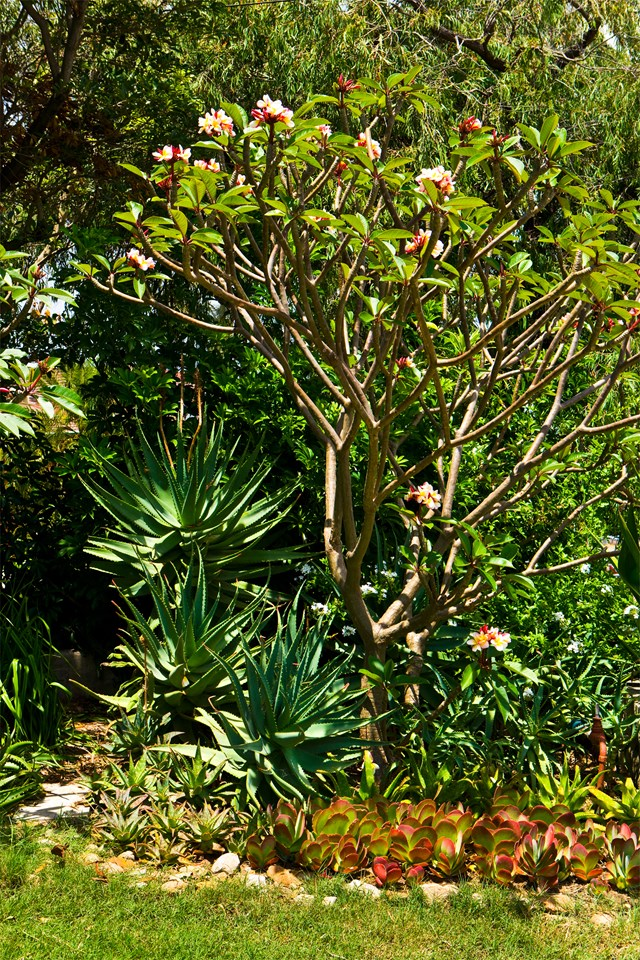 "A 'Sharnas Rose' frangipani tree underplanted with succulents at a [garden in Bondi](https://www.homestolove.com.au/bondi-garden-brought-to-life-with-salvaged-plants-5787|target=""_blank""). *Photo: Maree Homer / Story: Australian House & Garden*"