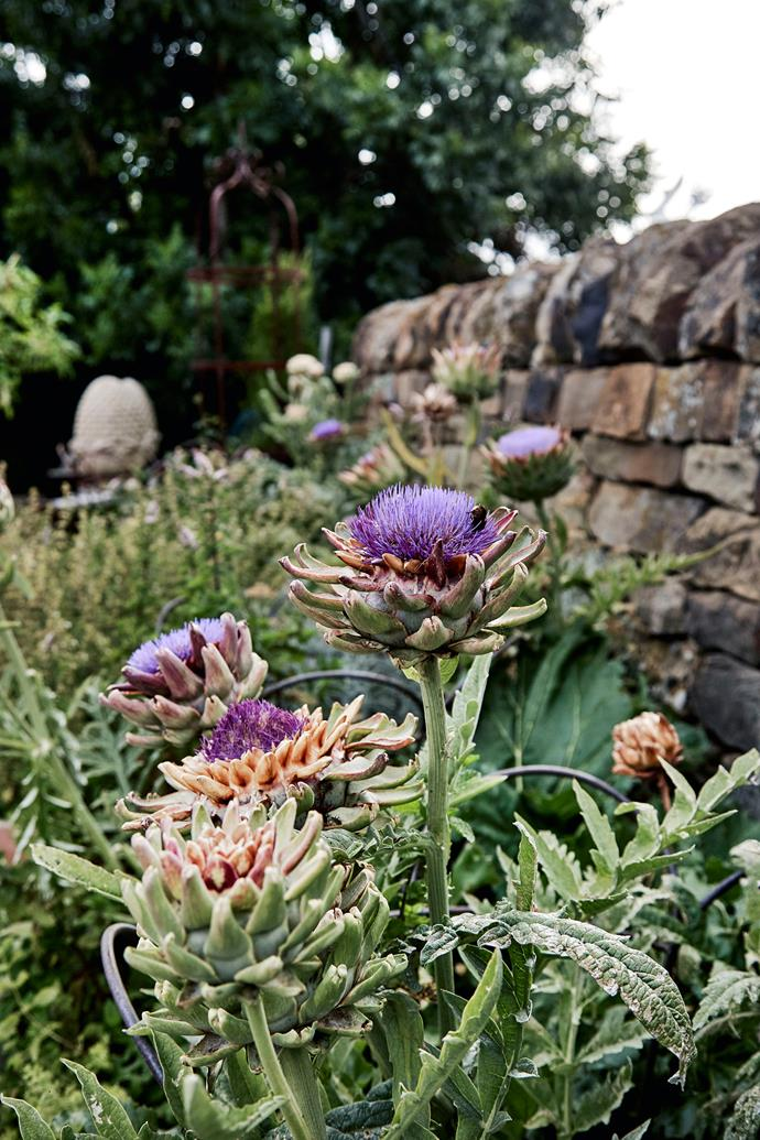 Artichokes are Debbie's favourite plant and she grows many types, including this cardoon variety (Cynara cardunculus).