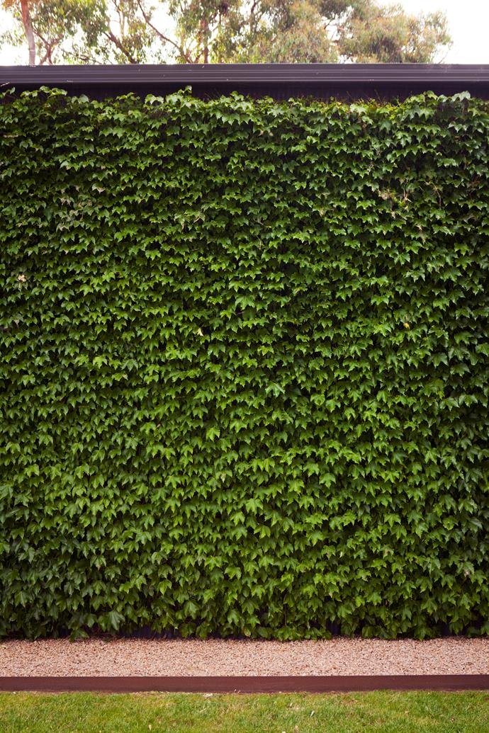 Boston ivy covers a wall of the shed.