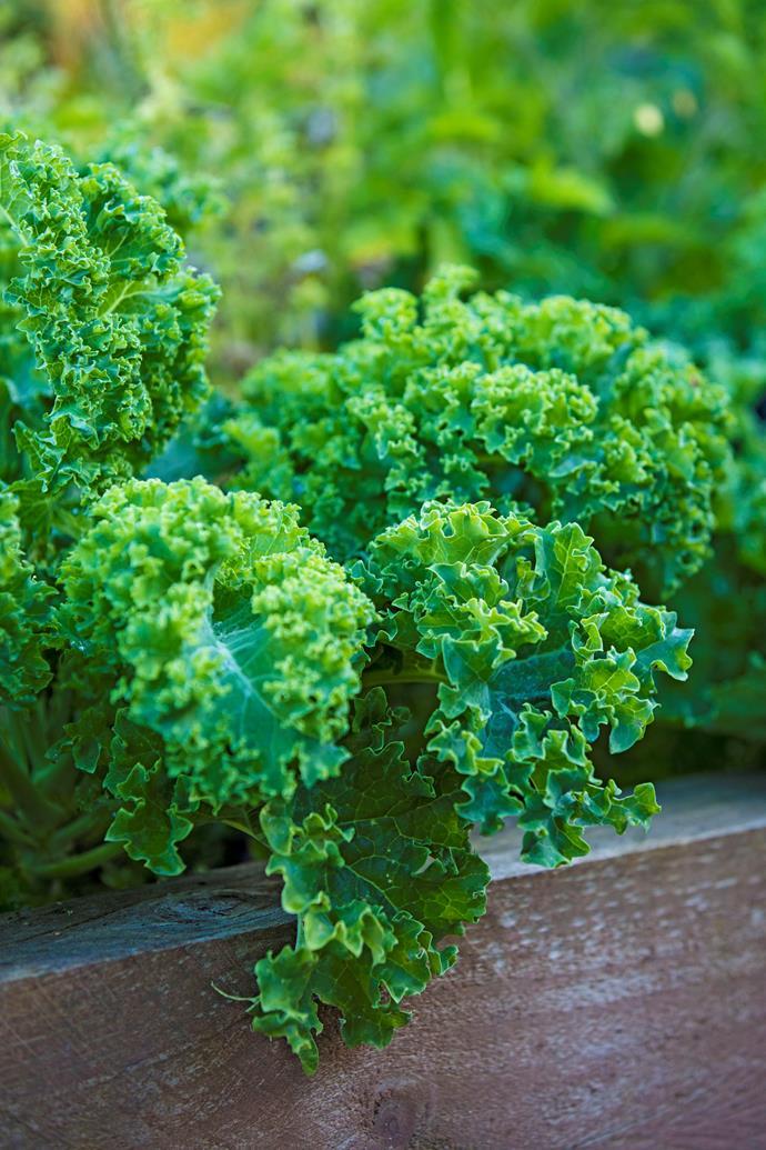 A lush crop of kale.