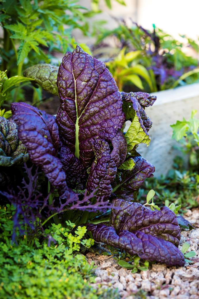 Purple mustard leaves.
