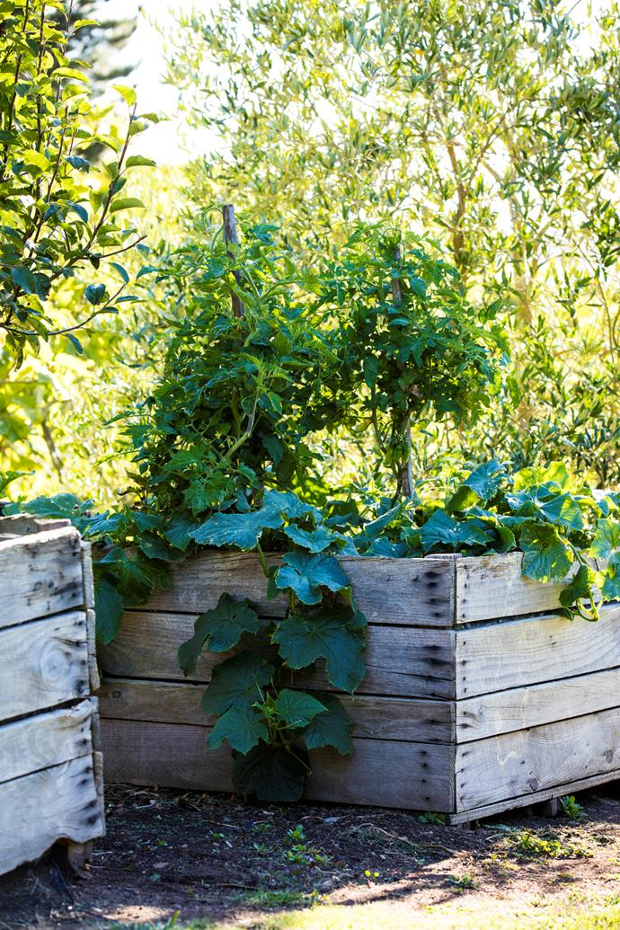 Roma tomatoes are staked in this raised garden bed, while cucumbers trail over the edge of a planter made from a stack of packing crates.