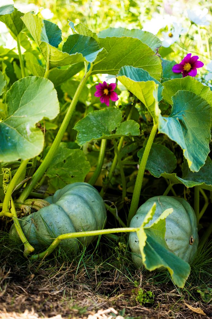 Queensland blue pumpkins.
