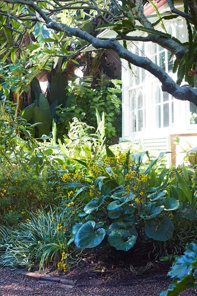 This yellow and white border contains many rare and fragrant plants, including *Salvia madrensis* 'Yellow Majesty', giant leopard plant (*Farfugium japonicum var. giganteum*), variegated *Iris germanica* and a yellow angel's trumpet.