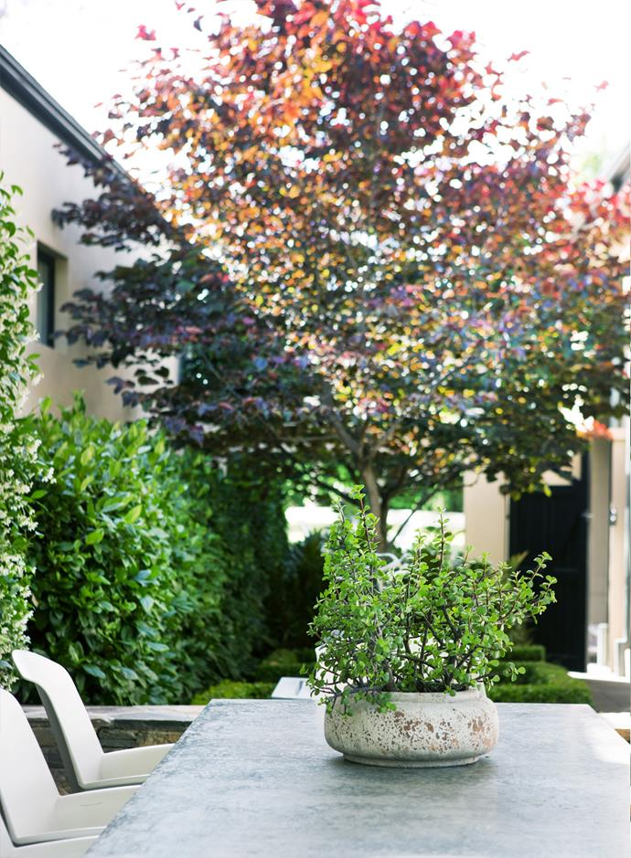 A purple-leafed Cercis canadensis 'Forest Pansy' tree punctuates the outdoor dining area.