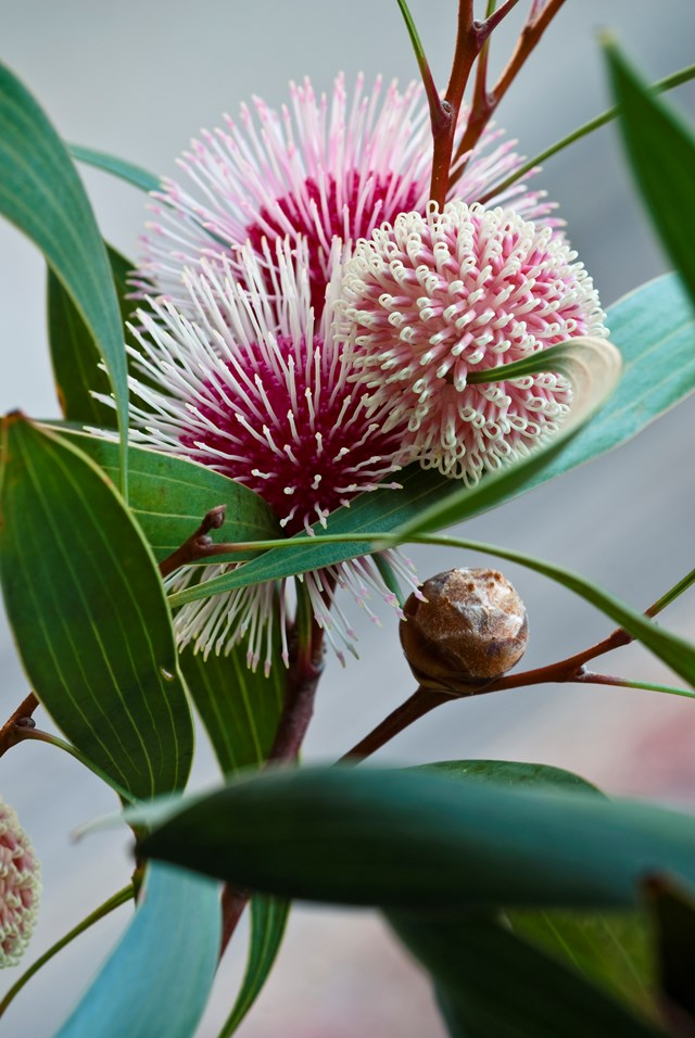 The 'Pin-cushion' hakea produces striking pink flowers.