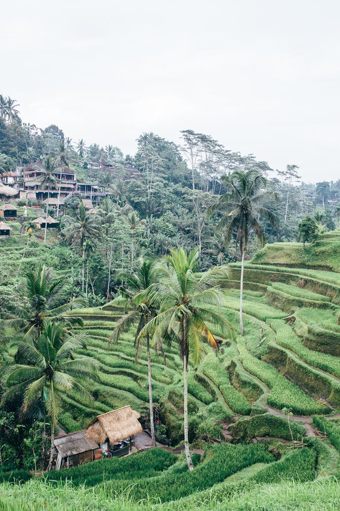 The terraced rice fields of Ubud.