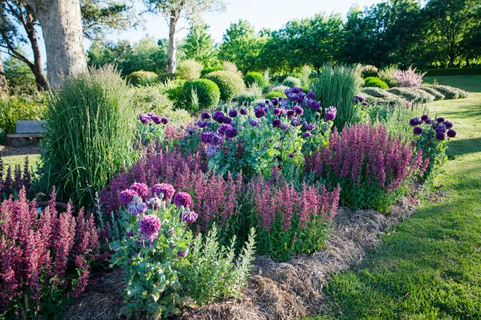 Purple and pink peony poppies and Agastache 'Raspberry Fiesta' intermingle with mauve Russian sage (Perovskia atriplicifolia), feather reed grass (Calamagrostis 'Karl Foerster') and clipped mounds of Westringia, Correa and Eriostemon.