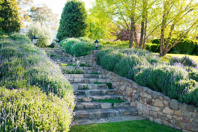 French lavender flanks the stone steps to a pair of shaped bay trees; on the right is a cluster of river birch (Betula nigra).